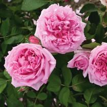 Rózsaszín történelmi rózsa - 'Madame Knorr'