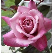 Halvány lila tearózsa - 'Orchid Masterpeace'