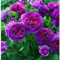 Lila-fehér történelmi futórózsa - 'Perennial Blue'