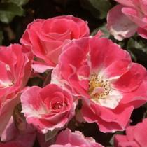 Rózsaszín-fehérszélű ágyásrózsa - 'Regensberg'