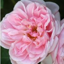 Rózsaszín tearózsa - 'Succes Fou'