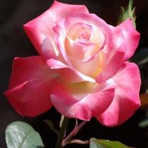Fehér-rózsaszín tearózsa - 'Tourmaline'