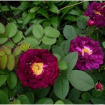 Élénklila, sárga porzókkal, történelmi rózsa -'Tuscany Superb'