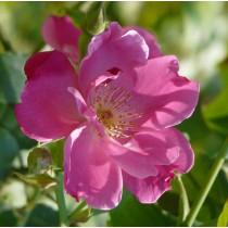 Ciklámen rózsaszín, talajtakaró rózsa - 'Vanity'