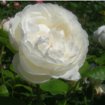 Fehér, romantikus rózsa - 'White Mary Rose'