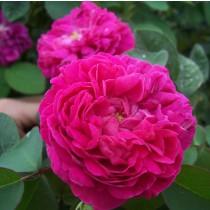 Lila történelmi angol rózsa - 'Rose de Resht'