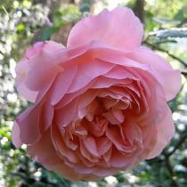 Rózsaszín romantikus rózsa - 'Sonia Rykiel'