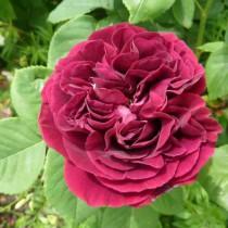 Lila történelmi rózsa - 'Souvenir du Docteur Jamain'