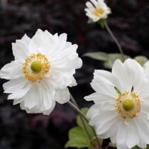 Szellőrózsa fehér 'Snow Angel'