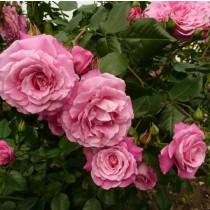 Rózsaszín  bokor rózsa 'Szent Erzsébet'