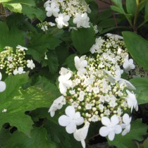 Tölgylevelű hortenzia 'Burgundy'