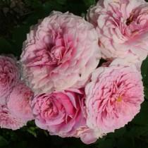 Rózsaszín romantikus nosztalgia rózsa 'William Christie'