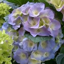 Kerti hortenzia 'Lovely Collection' Blue