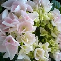 Kerti hortenzia 'Lovely Collection' White Spirit