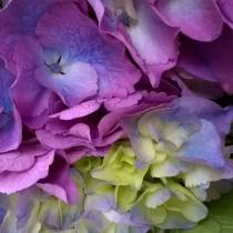 Kerti hortenzia 'Magical Light Pink'