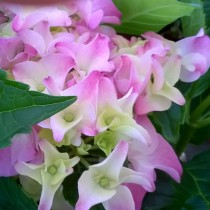 Kerti hortenzia 'Early Pink' közepes méret
