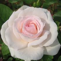 Halványrózsaszín talajtakaró rózsa 'Zemplén'