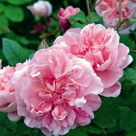 Rózsaszín romantikus rózsa - 'Ausglisten'
