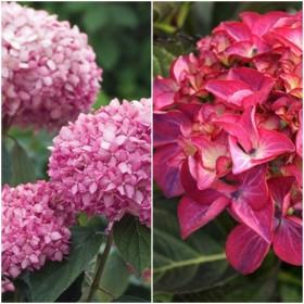 Együtt olcsóbb - rózsaszín Annabelle + Red Angel hortenzia