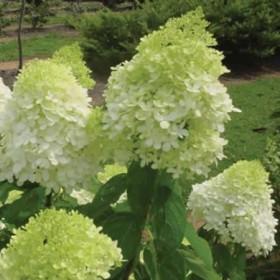 Bugás hortenzia 'Limelight' nagy méret