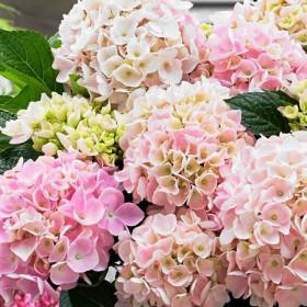 Kerti hortenzia 'Light Pink'