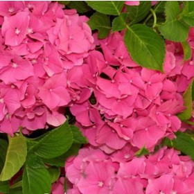 Kerti hortenzia 'Blue Power Pink'