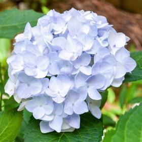 Kerti hortenzia 'Soft Blue Power'