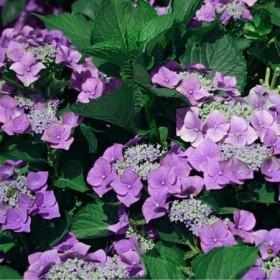 Kerti hortenzia 'Teller Lilac'