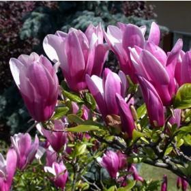 Csillagvirágú liliomfa 'Susan'