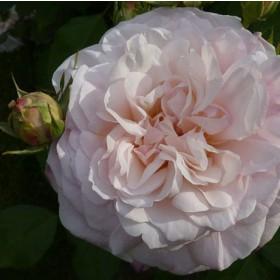 Világos rózsaszínű ágyásrózsa - 'Grüss an Aachen'