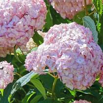 Cserjés hortenzia 'Candybelle Bubblegum'