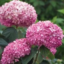 Cserjés hortenzia rózsaszín 'Sweet Annabelle'