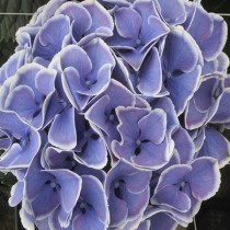 Kerti hortenzia 'Candy Blue'
