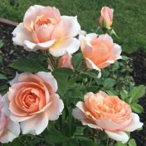Sárgabarackszínű romantikus rózsa - 'Paul Bocuse'