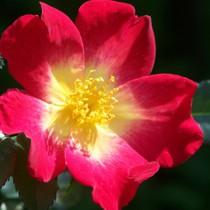 Vörös - sárga bokor rózsa - 'Meimick''