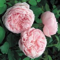 Rózsaszín, történelmi rózsa 'New Maiden Blush'