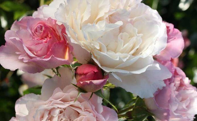 virágzó rózsák a teraszon